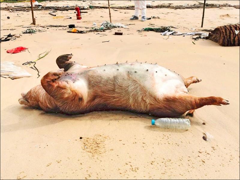 金門防疫所5月21日接獲金沙分駐所及海巡署金馬澎分署通報,在金沙鎮獅山海灘發現1頭死亡豬隻。(防檢局提供)