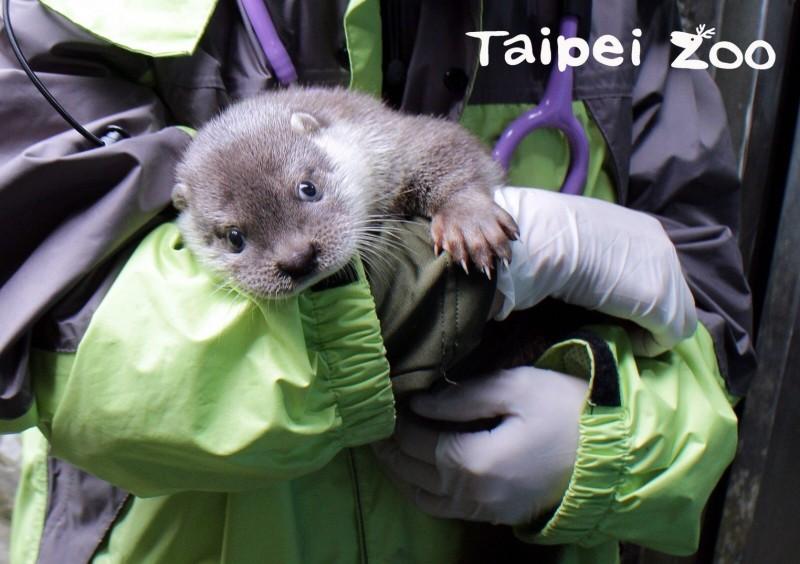 台北市立動物園水獺家族的水獺寶寶,在保育人員懷中的可愛模樣。(圖由台北市立動物園提供)