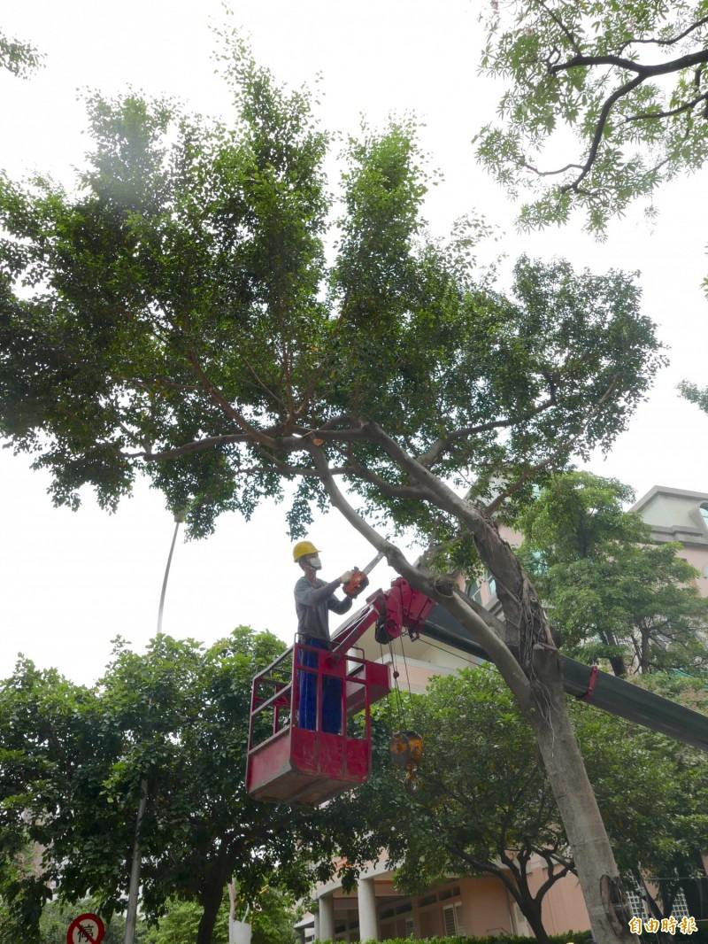 颱風季來臨前,台中市大規模修剪路樹防災。(記者蔡淑媛攝)
