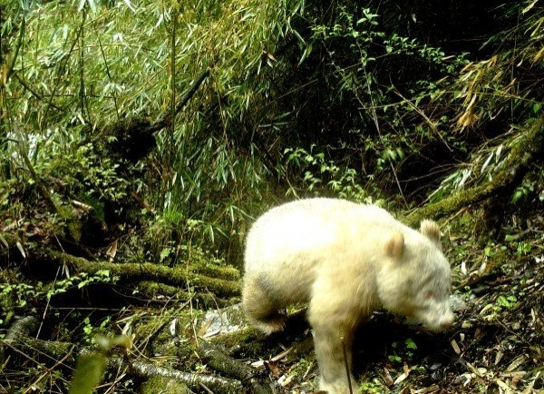 中國四川臥龍自然保護區今年4月中透過紅外線相機,在海拔約2000米左右的地方拍到一隻白色的大貓熊。(圖擷取自微博)