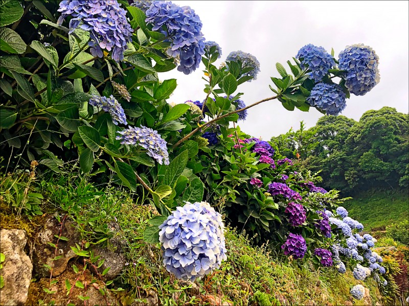 1-5現在開始到7月底,陽明山的繡球花海正盛開。(圖片提供/噹啷女孩)