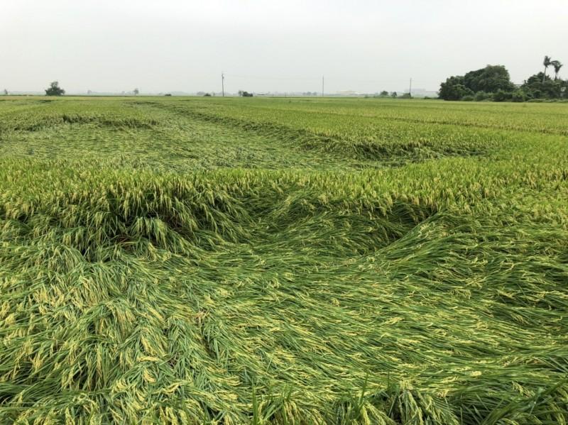 南市重要農作水稻、文旦和蓮霧,今年連遇旱災、豪雨災害,南市農業局長李朝塘利用周休假期邀專家到產區會勘,證實受損面積不大,損失經微,稻米的品質甚至更好,價格看俏。(圖由南市農業局提供)