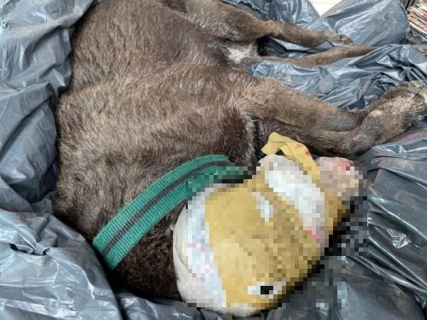 高市驚傳殘忍虐狗案,1隻黑狗被人以膠帶封頭,並綑綁四肢,棄屍在大順陸橋工地旁。(圖由高市關懷流浪動物協會提供)