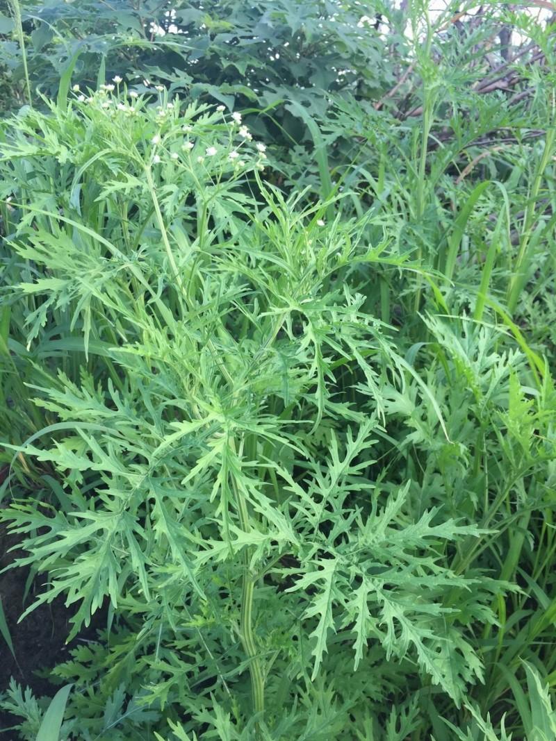 銀膠菊幼株外形很像艾草葉,惟其經具深凹條紋,葉互生,形狀為羽狀深裂。(南投林管處提供,黃士元攝)