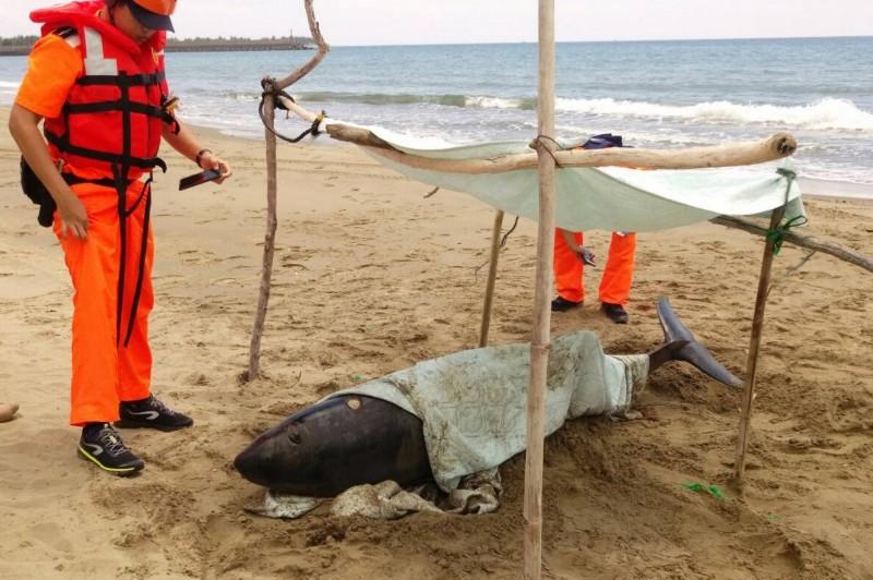 侏儒抹香鯨擱淺車城海口沙灘。(記者蔡宗憲翻攝)