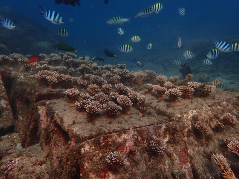 人造珊瑚花園復育有成,出現魚兒成群嬉戲的美景。(澎湖縣種苗繁殖場提供)