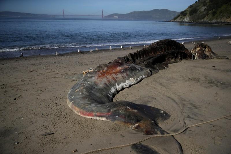 近幾個月來,美國西岸至少已經發生70頭灰鯨死亡擱淺案件。(法新社)