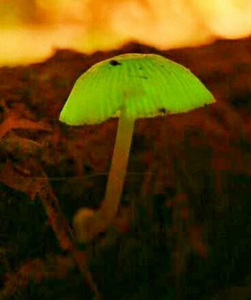 螢光蕈只有蕈傘會自行發光。(圖由張淑珍提供)
