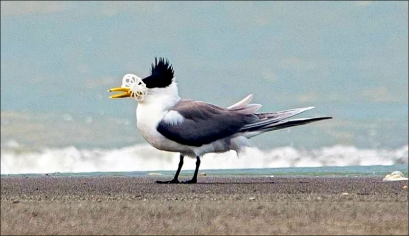 鳳頭燕鷗嘴喙卡著塑膠垃圾,悲慘畫面曝光後引起震撼。(拍鳥俱樂部廖姓鳥友提供)