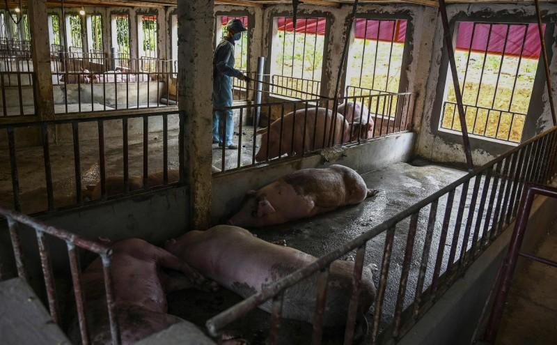 越南63個省市中有52個檢驗出非洲豬瘟,亦即全國約有8成2省市淪陷。(法新社)