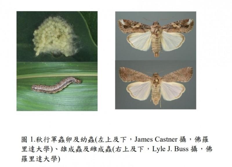 秋行軍蟲的蟲卵、幼蟲與成蟲,現已蔓延至中國18省,對農業造成重大打擊。(資料照,農委會防檢局提供)
