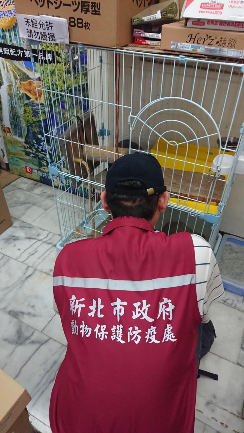 動保處至蘆洲區某寵物用品連鎖店查獲無照買賣貓。(新北市動保處)
