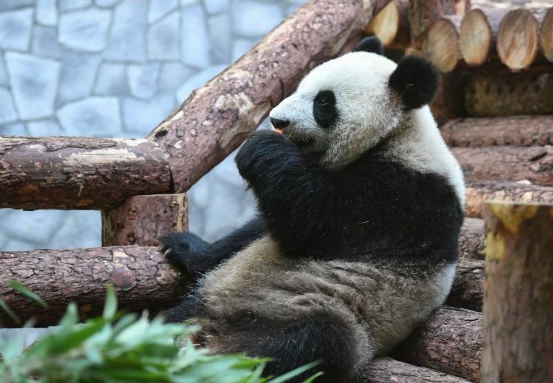 習近平致贈2隻貓熊給莫斯科動物園。(歐新社)