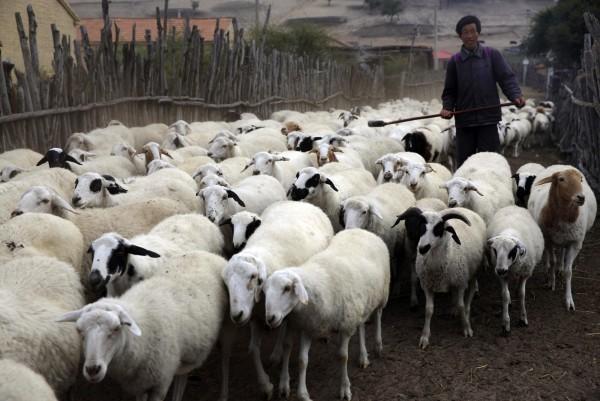 哈薩克爆發羊疽病,中國海關總署、農村農業部發公告禁止輸入相關產品。圖非當事羊。(路透)