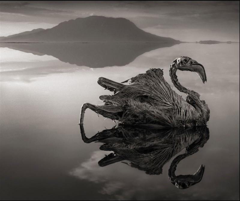 湖中的碳酸鈉結晶會讓動物身體被鈣化,他們維持的死前的姿勢,就像被風乾一樣。(圖擷取自 Nick Brandt網站)