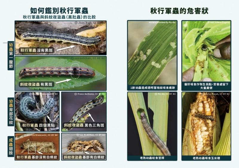 如何鑑別秋行軍蟲的防治文宣。(桃園市農業局提供)
