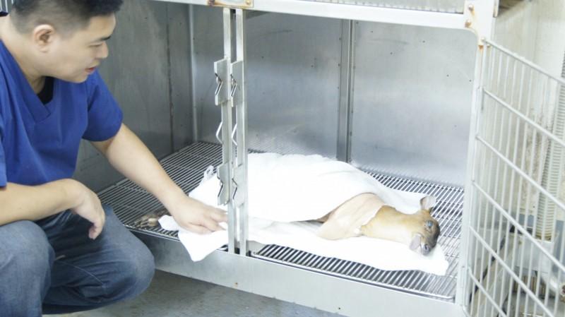 懷孕母山羌完成截肢手術後,躺在動物醫院靜養。(基隆市動物保護防疫所提供)