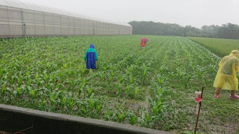 雲林縣動植物防疫所人員在水林玉米田仔細巡檢。(記者黃淑莉翻攝)