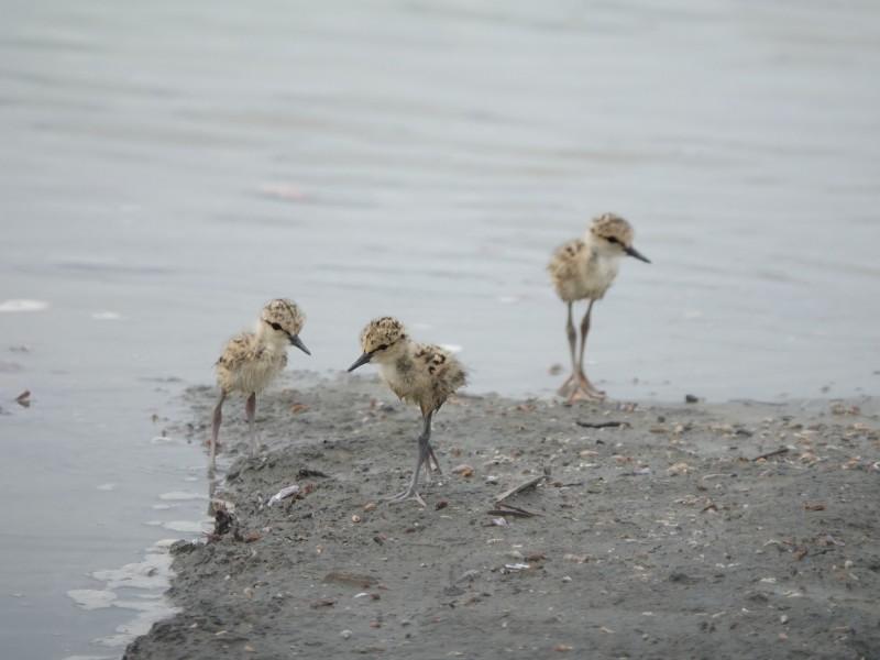 鳥友目擊繫放22年的高蹺鴴,帶著3隻幼雛現蹤台南四草野保區。(鳥友陳玉怡提供)