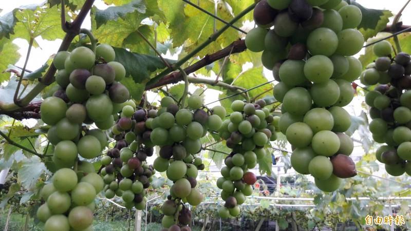苗縣甜柿、葡萄及後龍西瓜現金救助 受理申請至24日