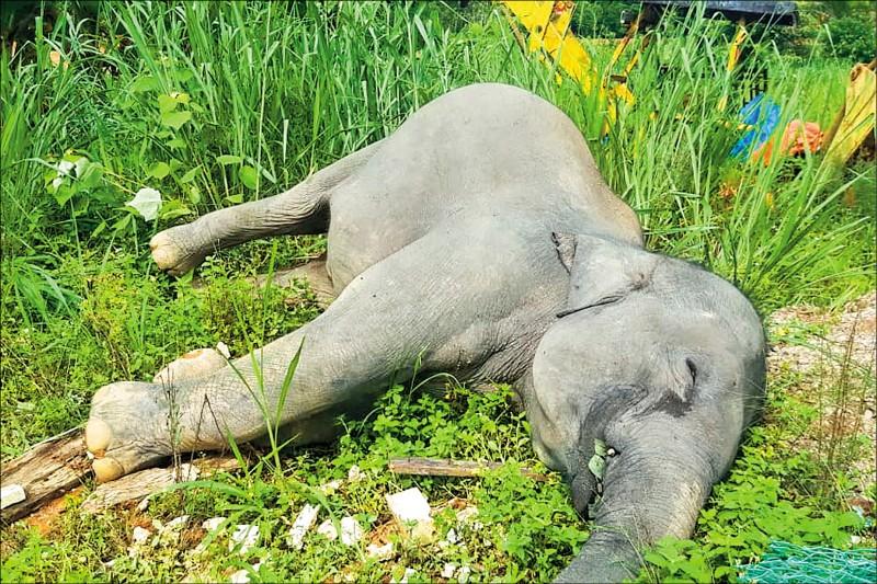 馬來西亞南部柔佛州居鑾縣近日驚見一頭大象倒地身亡,驗屍結果證明牠被毒死。(法新社)