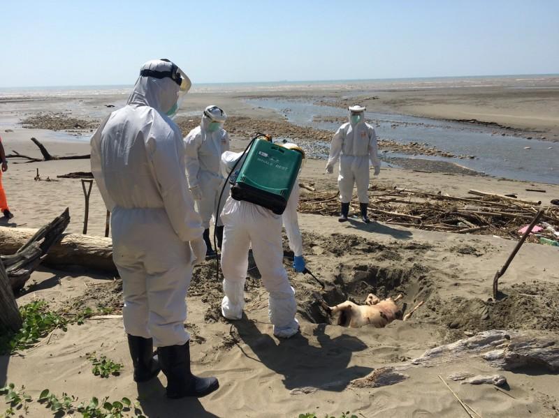 非洲豬瘟?通霄海邊驚見動物屍體 幸好是頭羊…