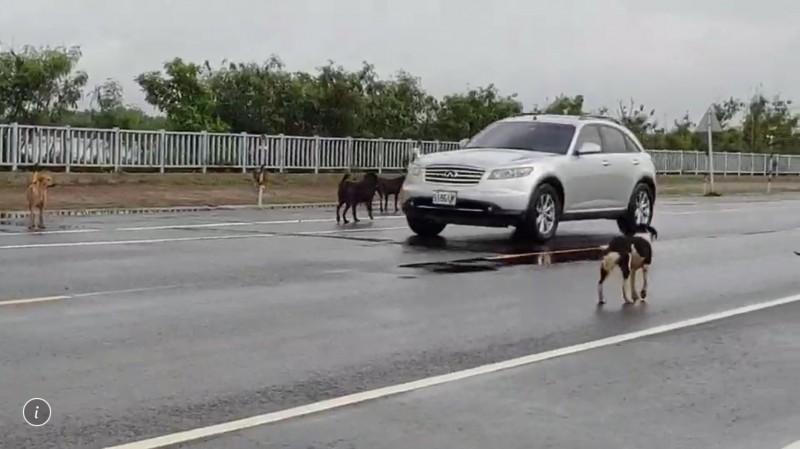 成群的大型野犬在大馬路上閒逛,車輛被迫減速通過。(蔡鳳祺提供)