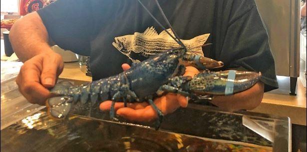美餐廳老闆尼克森在進貨時發現這隻藍色龍蝦。(圖擷取自Arnold's Lobster & Clam Bar臉書)