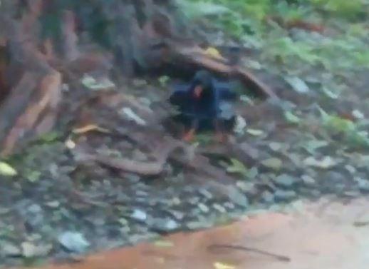 遊客在奧萬大森林遊樂區拍下台灣藍鵲大戰龜殼花的珍貴畫面。(圖由康姓民眾提供)