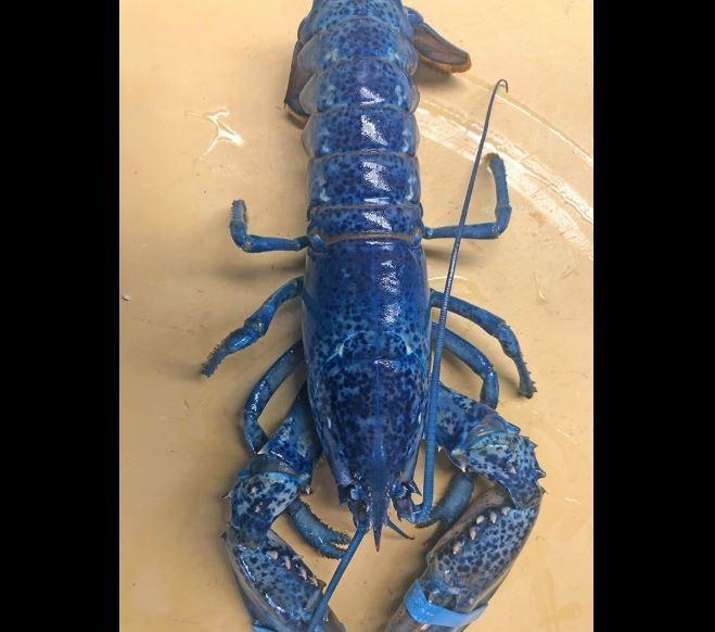 200萬中才有1隻的「色違板」藍色龍蝦。(圖擷取自Arnold's Lobster & Clam Bar臉書)