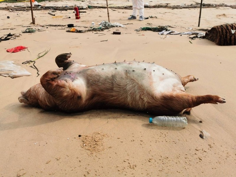非洲豬瘟中央災害應變中心今日表示,金門縣海漂死豬再驗出非洲豬瘟,研判該豬隻殘體應是自中國漂流過來。(資料照,防檢局提供)