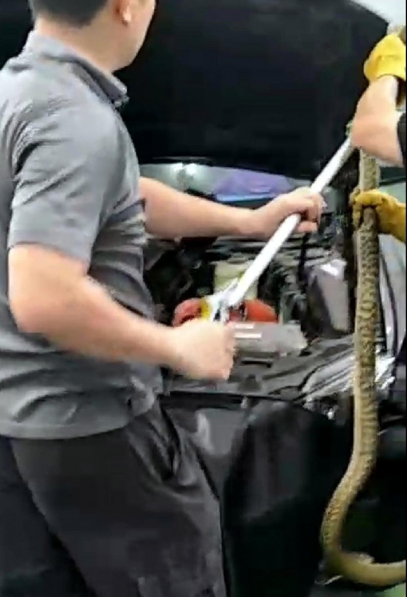 修車廠人員費盡九牛二虎之カ,將隱藏在轎車的「臭青母」拉出來。(記者謝介裕翻攝)(記者謝介裕攝)