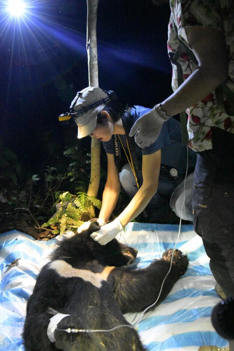 台灣黑熊中鋼絲套索陷阱 林務局公布救傷影片