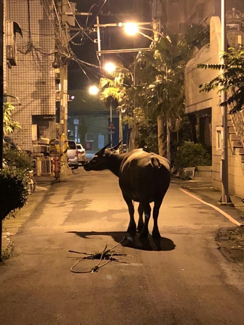 水牛逛大街 台東女騎士撞到摔車身亡
