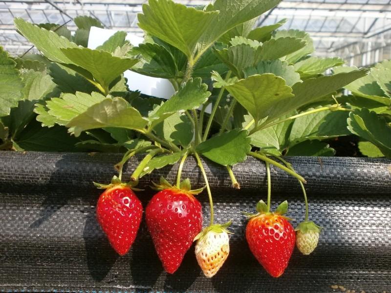 大湖農會獲第一授權 草莓新品種「戀香」年底可上市