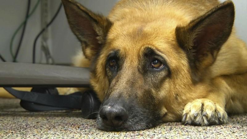 經過長年演化,狗的眼部周圍逐漸長出特殊的肌肉,能讓牠們露出人性化的表情。(美聯社)