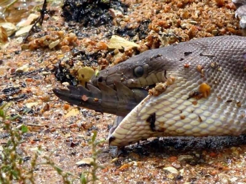 橄欖蟒進食完畢,大自然弱肉強食的競爭。(翻攝臉書「GG Wildlife Rescue Inc」)