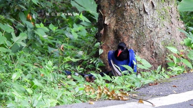 大熱天台灣藍鵲洗「蟻浴」 珍貴畫面鳥友驚嘆
