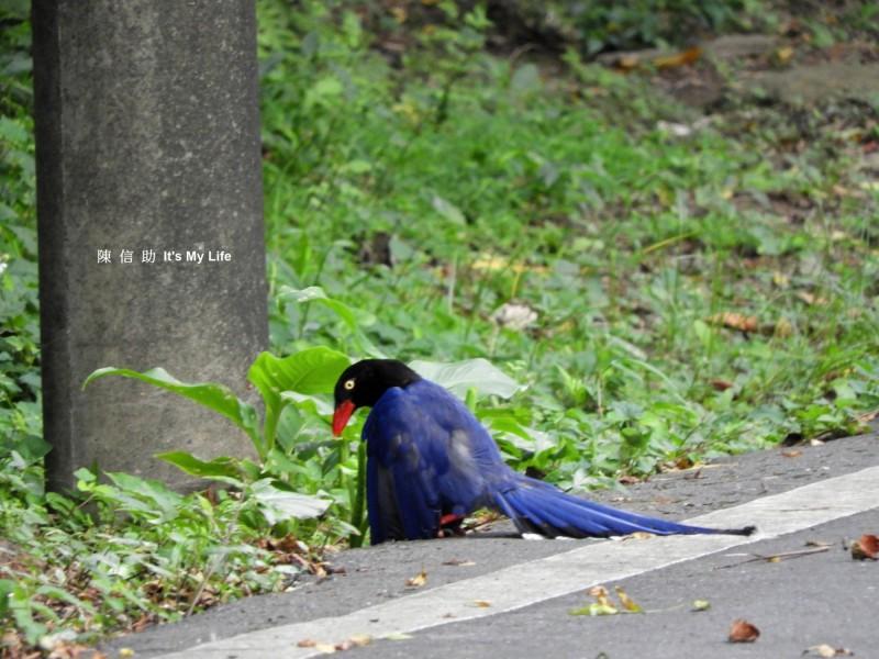 基隆環保志工陳信助捕捉到台灣藍鵲享受「蟻浴」的珍貴畫面。(圖由陳信助提供)