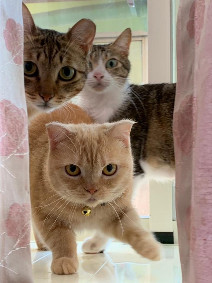 李女病倒,家人無力負擔其飼養的50隻貓咪,目前正待人領養。(市議員謝美英提供)