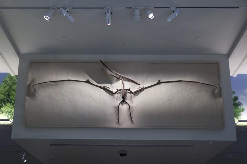 最新研究指出,在中生代時期統治天空的翼龍可能一出生就具備飛行能力。(美聯社)