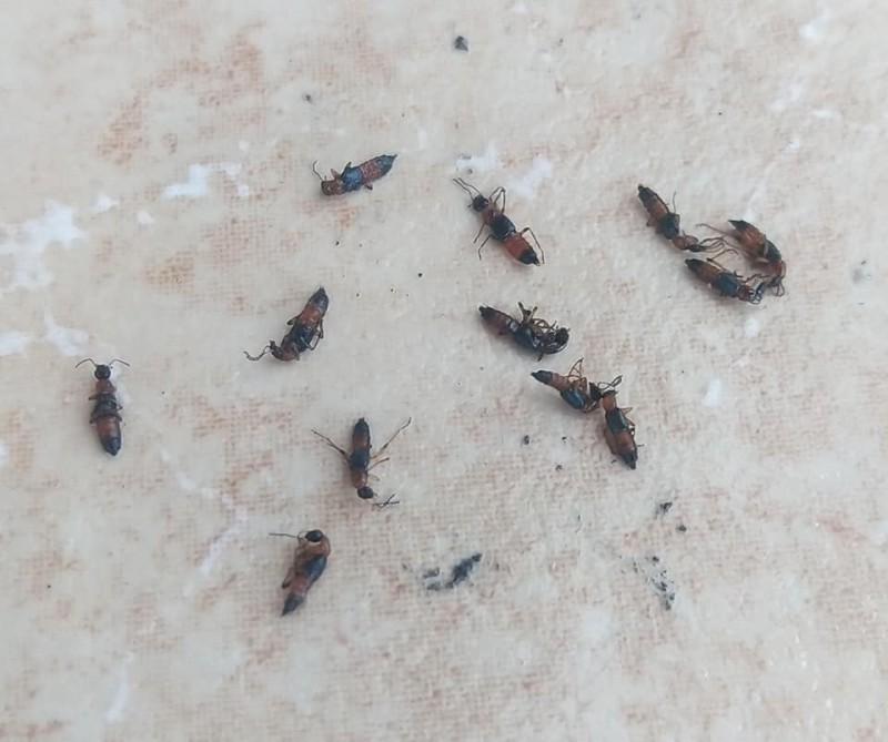 網友稱一個晚上捉到10幾隻隱翅蟲。(記者黃佳琳翻攝)
