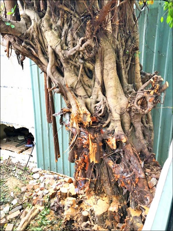 新北市板橋區湳雅夜市一處私人土地上列管的珍貴榕樹,被砍到只剩約3分之1的樹幹。(新北市議員何博文服務處提供)