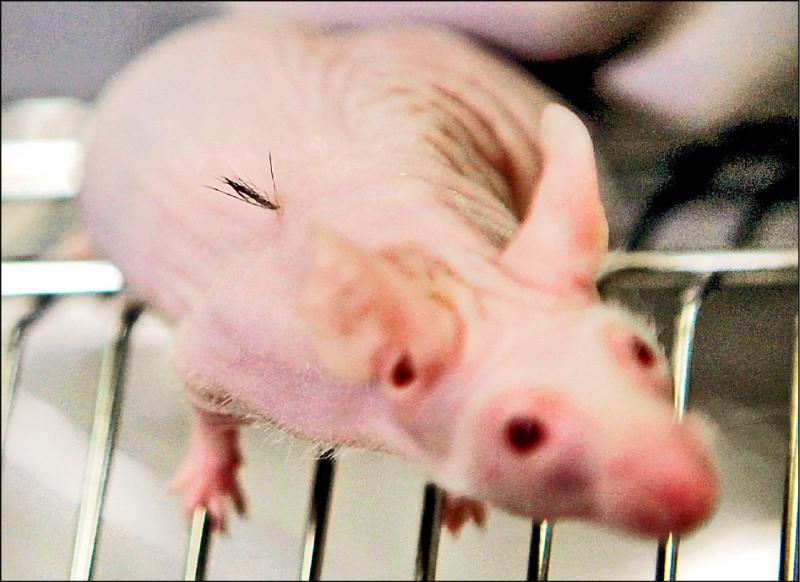 日本橫濱國立大學一個實驗室裡的實驗小鼠,研究人員使牠背上生成一小撮毛髮。(路透檔案照)