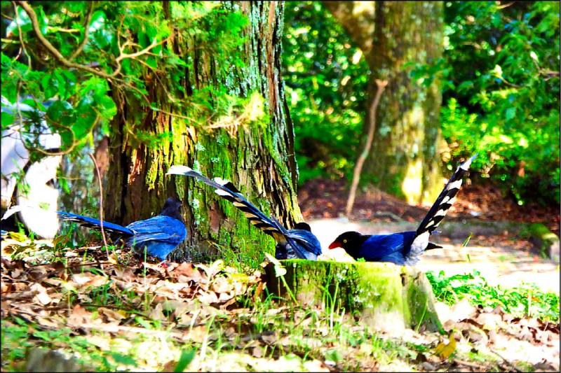 奧萬大是賞鳥的好去處,很容易看到台灣藍鵲的蹤影。(南投林管處提供)