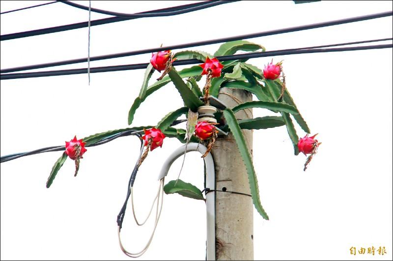 電線桿長火龍果,民眾戲稱是「電龍果」。(記者陳冠備攝)