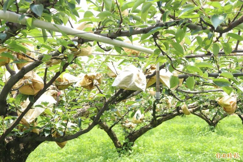 農民在花苞死掉後,只能嫁接幸水等成長期較短的品種,導致一顆梨樹上有別於往,竟佈滿不同品種的梨子,由於每種梨子都用不同顏色的紙包裹,民眾形容有如「萬國旗」。(記者林敬倫攝)