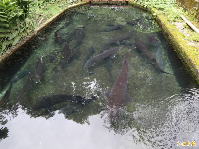 鱘龍魚要養到15年,才可宰殺取卵製作魚子醬。(記者歐素美攝)