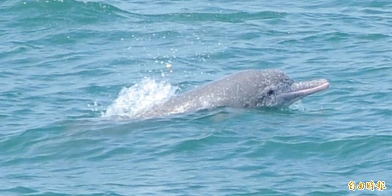 最新的白海豚族群監測研究顯示,台灣白海豚數量只剩下50隻,瀕臨絕種。研究建議,設立白海豚保育區與保育措施,刻不容緩。(資料照,鄭武郎提供)