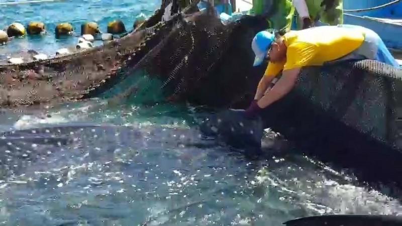 海洋大學鯊魚永續研究中心人員,為鯨鯊進行標識放流。(海洋大學永續研究中心提供)